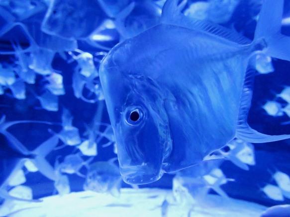The Lookdown Fish