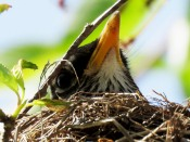 Robin in Its Nest