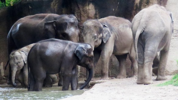 5 Asian Elephants