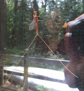 Mayfly on the Window Screen