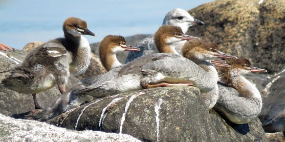 One Is Not Like The Others - Mergansers And Seagull