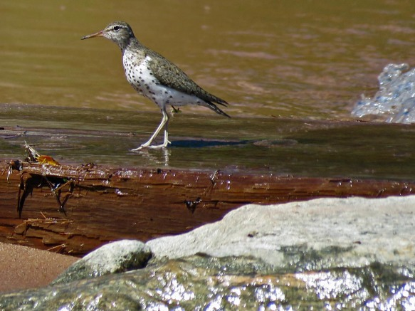 Spotted Sandpiper Down Past Pan and Jeep's
