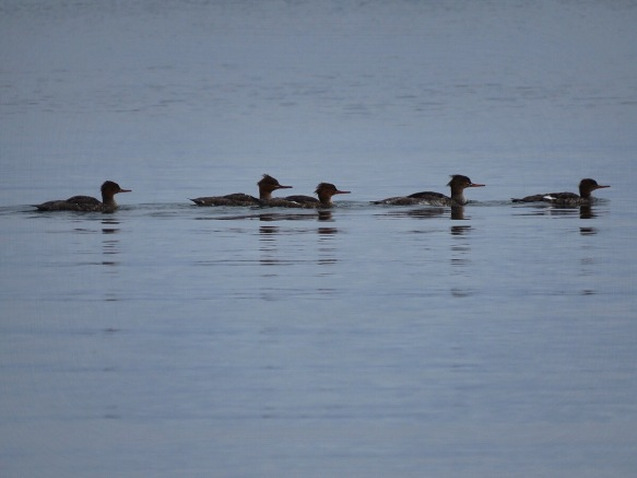 Five Mergansers