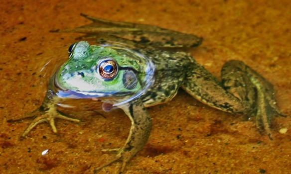 In a Frog's Mind-Eye