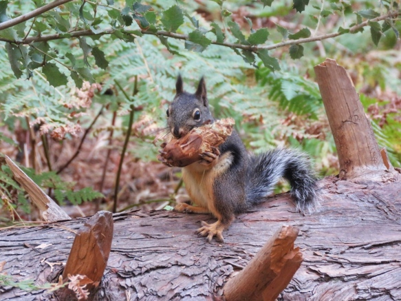 Black Squirrel Chewing on a Pine Cone