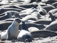 Elephant Seals on Año Nuevo Beach