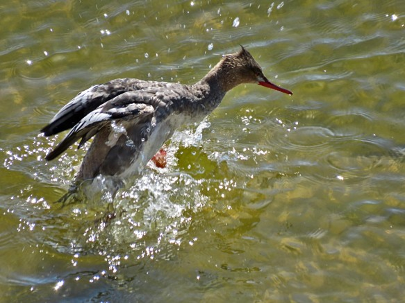 Fishing Merganser