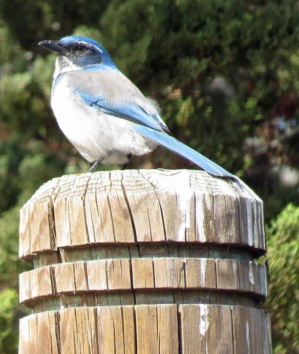 Monterey Bluebird