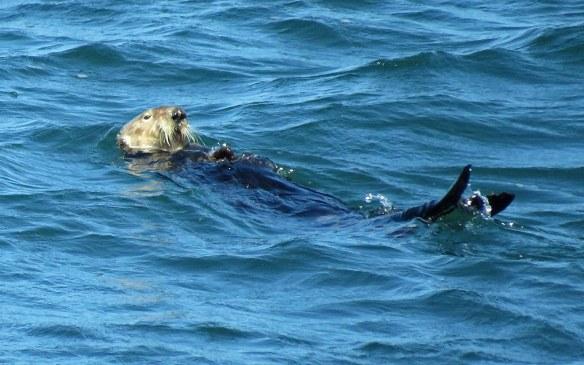 Monterey Sea Otter Feeding