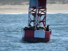 Sea Lions on a Buoy