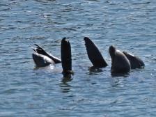 Sea Lions Regulating Their Temperature