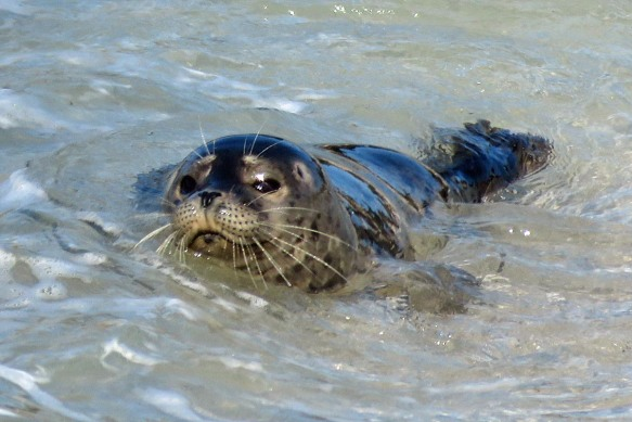 Young Harbor Seal in the Surf