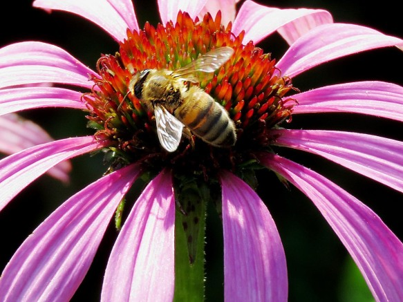 Honey Bee and Cone Flower