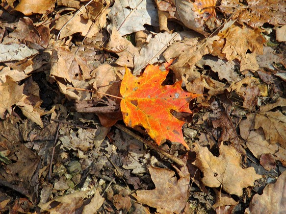 Maple Among Oak Leaves