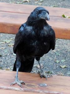 Stalking Raven
