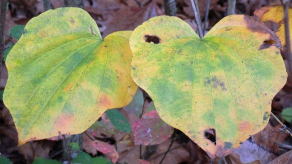 Two Heart Shaped Leaves