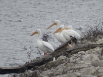 Four American Pelicans at the Mel Price Lock and Dam