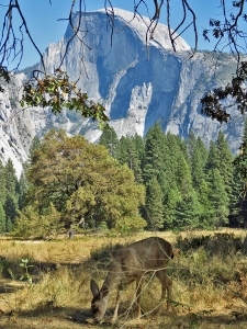 Grazing Deer and Half Dome