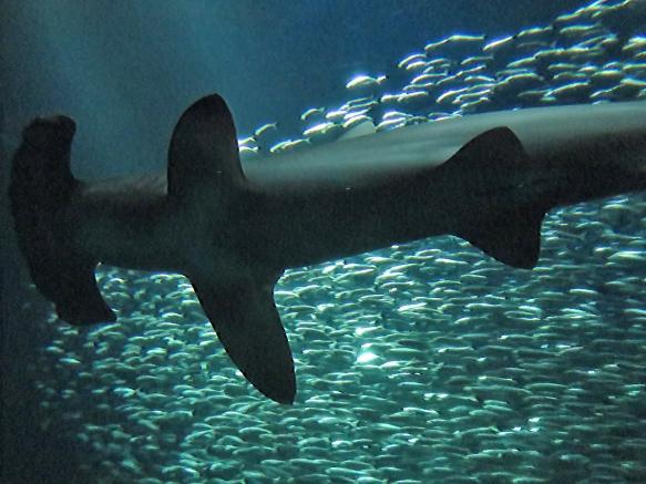Hammerhead Shark Over Mackerels