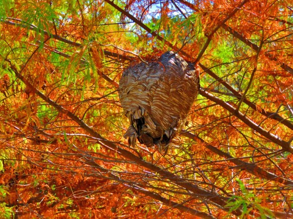 Wasp's Nest Among the Cedars