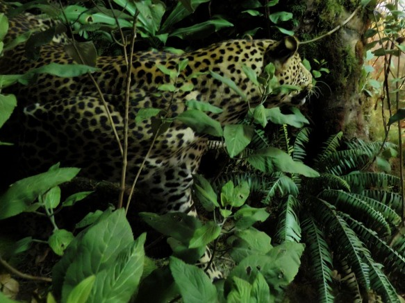 Stalking Leopard from the American Natural History Museum
