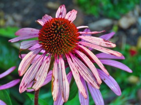 Pink Petaled Cone Flower