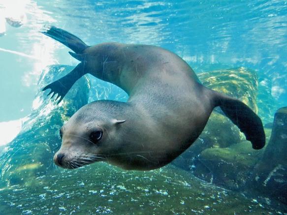 Dancing Sea Lion