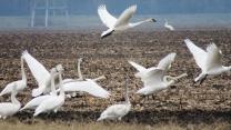 Trumpeter Swans Takeoff