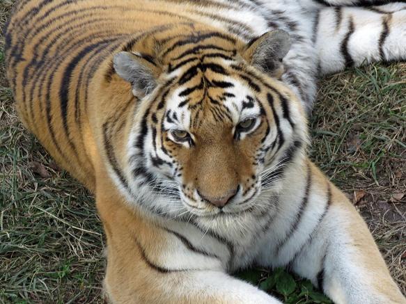 Waldemere the Amur Tiger