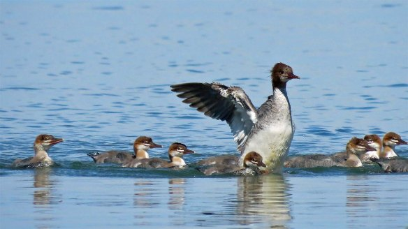 Mother Merganser and Babies
