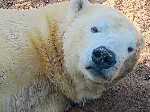 Kali the Polar Bear Is Awakened From a Nap