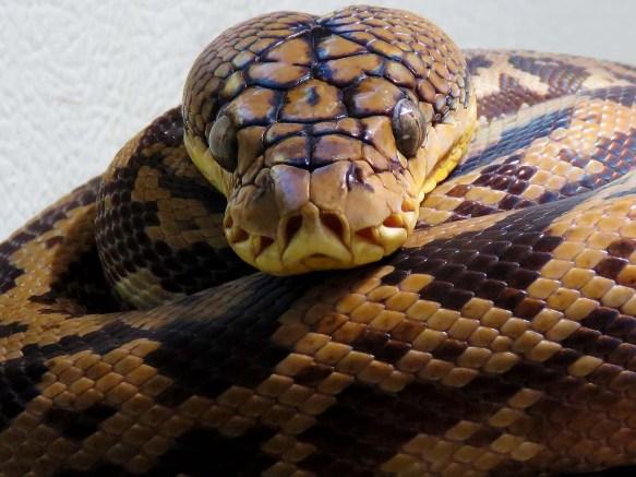 Lesser Sundas Python