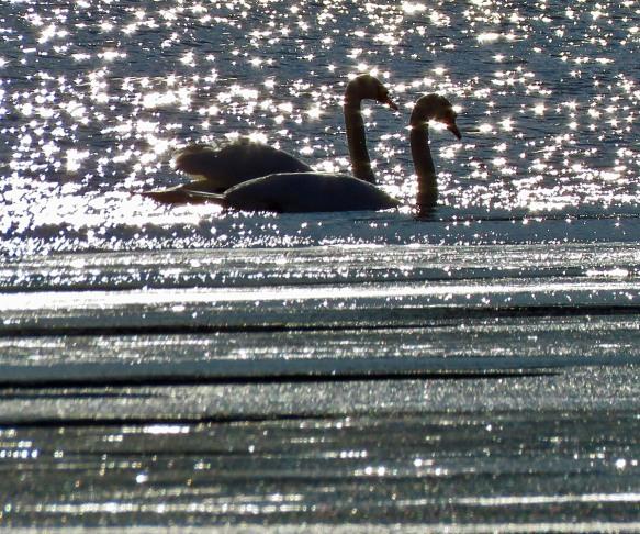 Mute Swans in Dazzling Sunlight