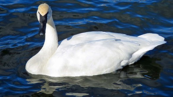 Tamed Trumpeter Swan