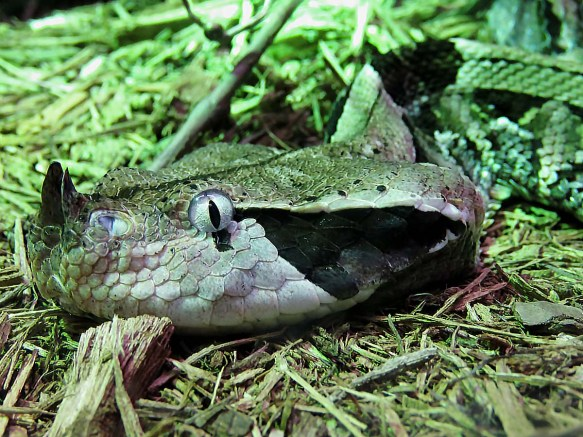 The Deadly West African Gaboon Viper