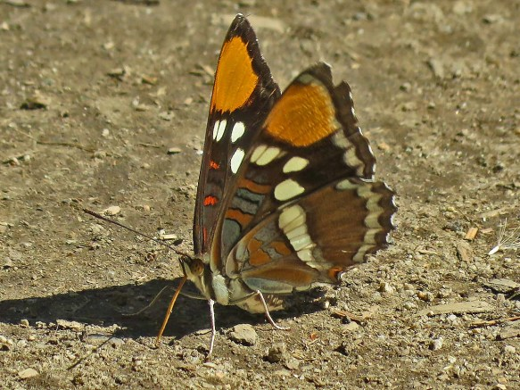Yosemite California Sister Butterfly