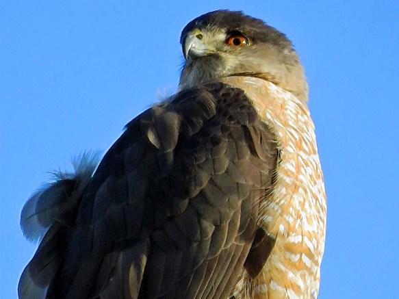 Backyard Coopers Hawk