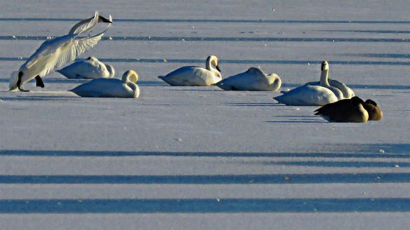 Bedding Down for the Night - Trumpeter Swans and Canada Geese