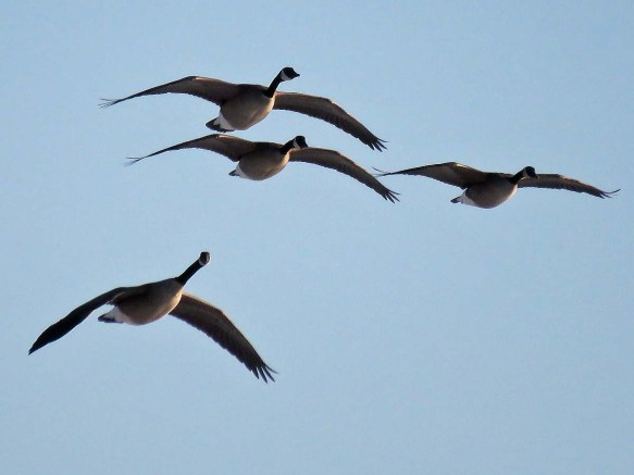 Four Canada Geese