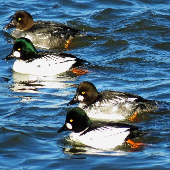 Four Goldeneyes