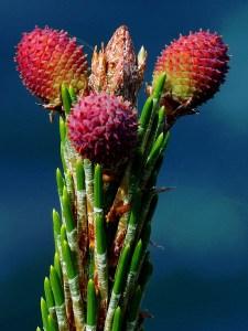 Pink Pine Buds
