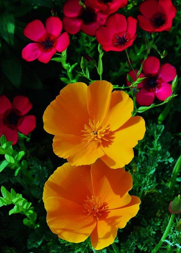 Poppies at the Huntington in Pasadena