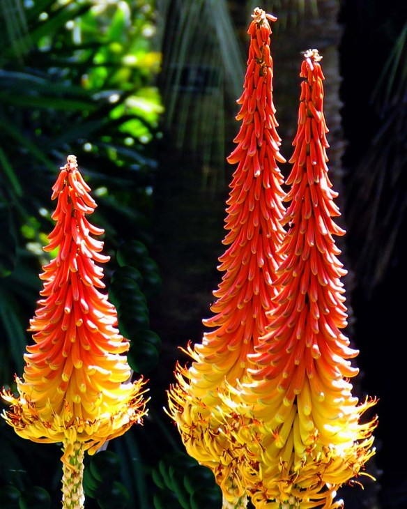 Red Hot Poker Alcazar at the Huntington in Pasadena