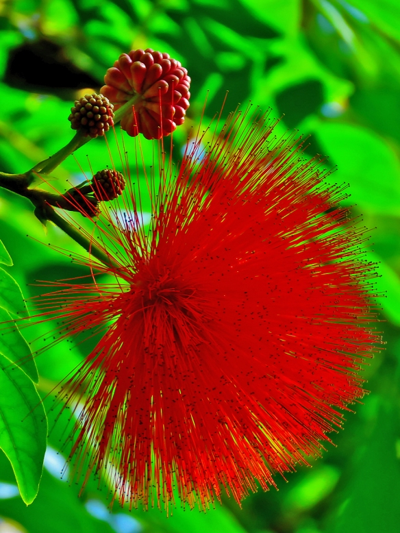 Red Powder Puff Blossom