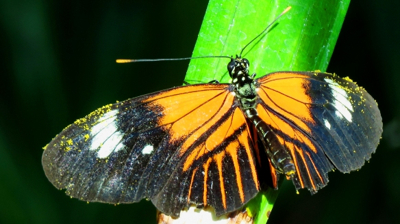Brown Longwing Butterfly