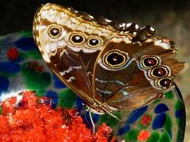 Common Blue Morpho Butterfly (Bottom)