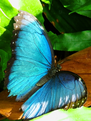 Common Blue Morpho Butterfly (Top)