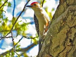 Red-belied Woodpecker