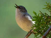 Blue-gray Gnatcatcher in a Juniper Tree