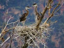 Great Blue Heron Rookery, Springdale Utah